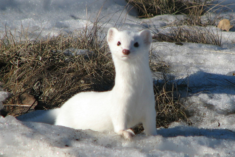 Long-tailed Weasel by Anne Elliott