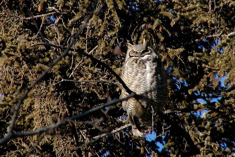 Roosting owl by Yves Dansereau